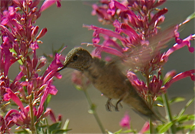 Hyssop. Hummingbird Heaven!  photo Catherine B. Zimmerman