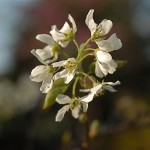 Blooming soon! Amelanchier Canadensis (Serviceberry) Catherine B. Zimmerman